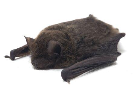 The common bent-wing bat, Schreibers' long-fingered bat, or Schreibers' bat (Miniopterus schreibersii) isolated on white background Stock Photo