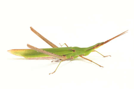 A close up of grasshopper isolated on white background