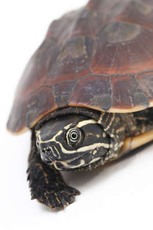 The Malayan snail-eating turtle (Malayemys macrocephala) is a species of turtle in Malayemys genus of the family Geoemydidae isolated on white background