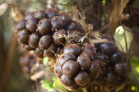 Salak Pondoh. Snakefruit in selective focus. (Salacca zalacca Gaertner Voss).