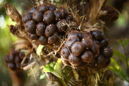 Salak Pondoh. Snakefruit in selective focus. (Salacca zalacca Gaertner Voss). Archivio Fotografico