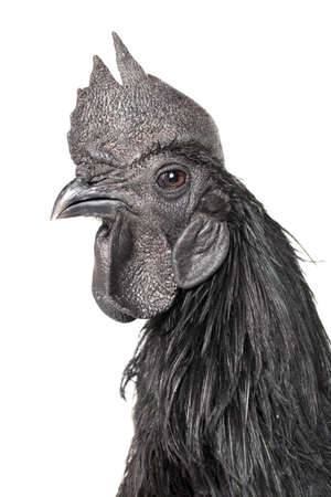 Black Rooster Ayam Cemani Chicken isolated on white background. 版權商用圖片