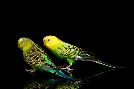 A pair of common parakeets budgerigar bird (Melopsittacus undulatus) budgie isolated on black background