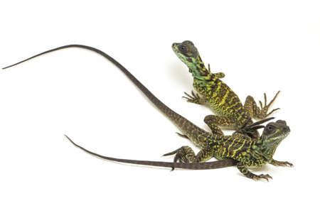 Juvenile Sailfin Dragon Lizard (Hydrosaurus weberi) isolated on white background Stock Photo