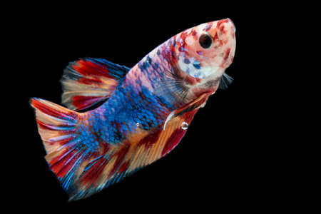 Close up of colorful Betta fish. Beautiful Siamese fighting fish, Fancy Betta splendens nemo leopard copper isolated on black background.