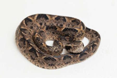 Malayan ground pit viper snake, Calloselasma rhodostoma isolated on white background