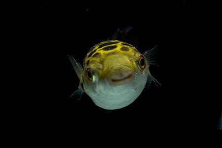 Spotted green pufferfish, tetraodon or Dichotomyctere nigroviridis on black background