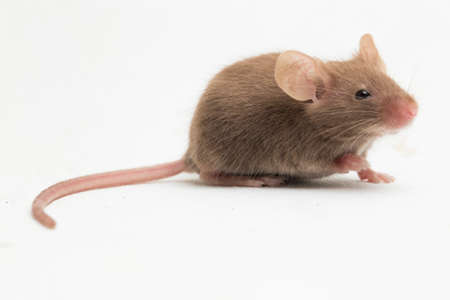 black gray common house mouse isolated on white background