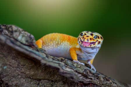 Leopard Gecko is on a tree branch in a tropical garden Standard-Bild