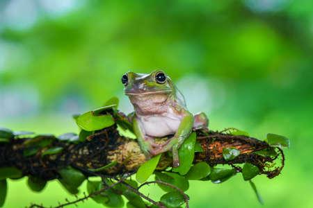 Dumpy frog tree on twigs in tropical garden