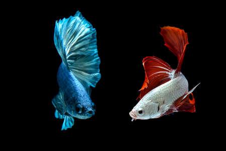 betta fish / fighting fish on black background