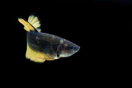 Siaeme fighting fish / betta fish  on black background