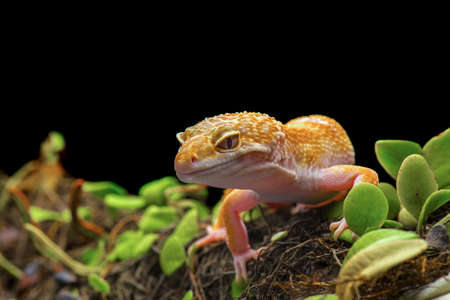 Leopard gecko on a branch with a black background Stockfoto