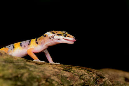 Leopard Gecko on twigs with black background