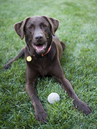 purebreed: chocolate labrador resting after play