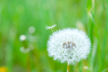 cotton wool: dandelion