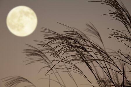 the pampas: Japanese silver grass and full moon