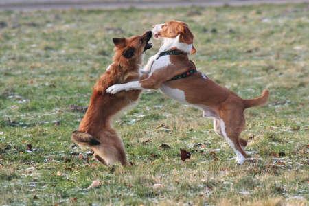 kampfhund: K�mpfe Hund - zwei Hunde sind