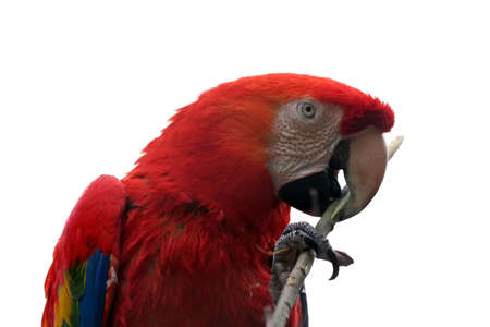 isolated parrot - Scarlet Macaw (Ara macao) photo