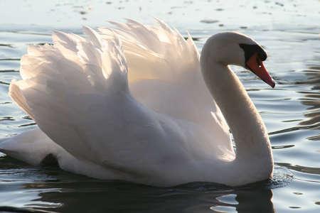 mute swan: Beautiful mute swan