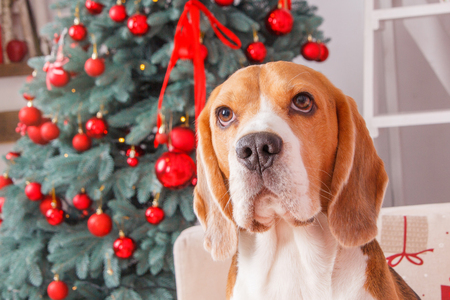 Faithful Beagle dog looks forward beside the New Year tree with red color decorations Stock Photo