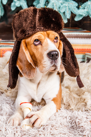 Cute beagle dog in brown fur hat with ear flaps lies, looks up and keeps the bone on the fur carpet near New Year tree.
