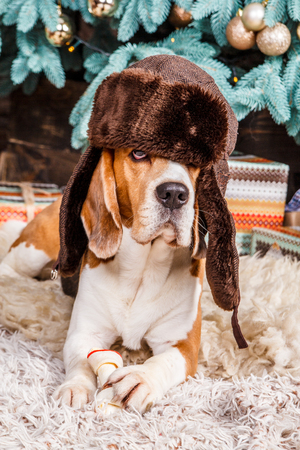 Funny young beagle dog lies on the fur carpet wearing hat with ear flaps and holding food near the Christmas tree
