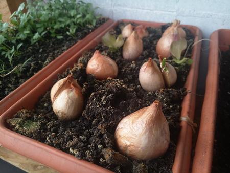 plants grow on the balcony onions and parsley Reklamní fotografie
