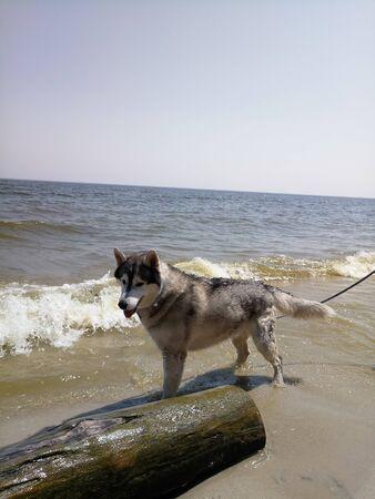 husky dog near the river