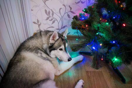 a husky dog near christmas tree