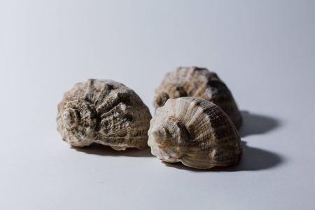big rapana shell on a white background