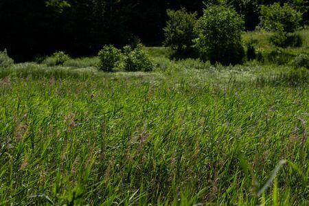 dense tall green grass in meadow Foto de archivo - 150127819