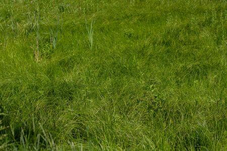 dense tall green grass in meadow Foto de archivo - 150127976