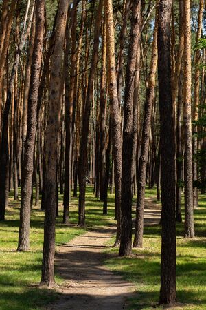 a tall pine trees in summer park