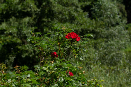 a red roses in the green garden
