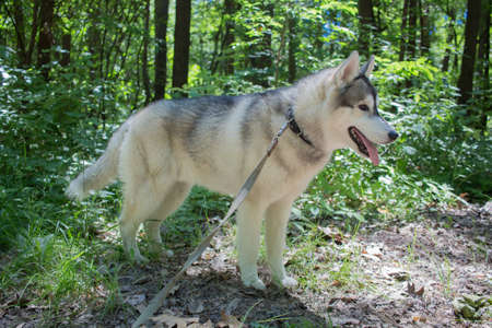 a gray siberian husky in the forest