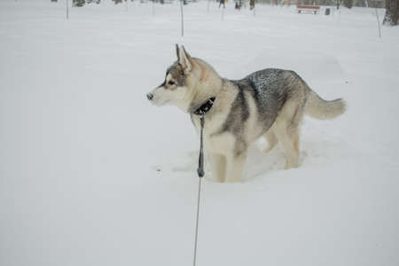 a husky dog in the snow in winter