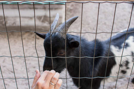 female hand stroking goat in the zoo