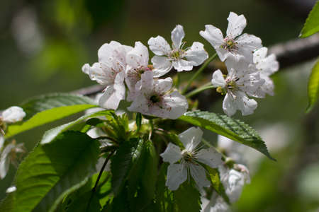 an apple blossom in spring in the garden