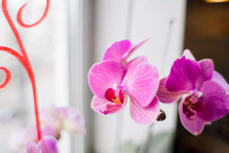 a beautiful pink orchid on the windowsill at home