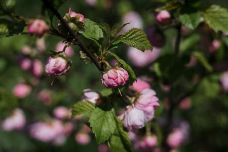 a beautiful pink flowers on a branch in spring Banque d'images