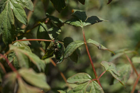 a big green beetle on green leaves of bushes