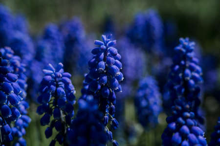 beautiful blue flowers in the garden on a branch Banque d'images