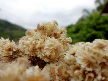 Edelweiss flower is a perennial flower