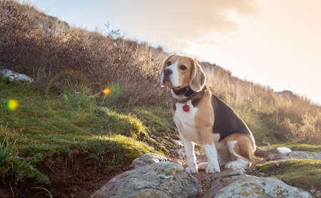 Portrait of beagle during beatiful sunset. Background with dog. Reklamní fotografie