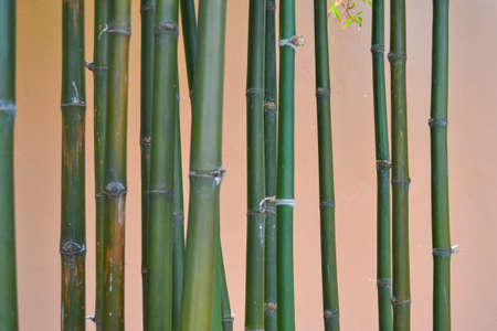Bamboo clump on cream-colored background