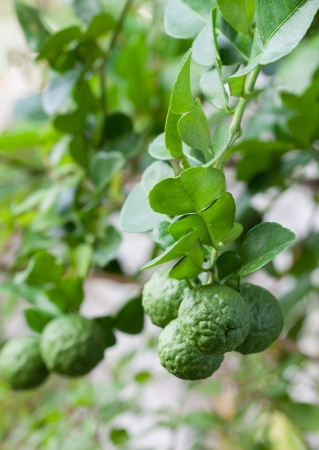 A bunch of kaffir lime on bergamot tree
