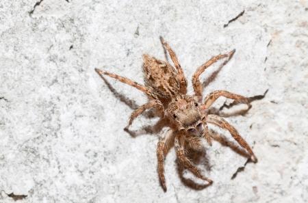 plexippus: Jumping spider Female Plexippus petersi Top view