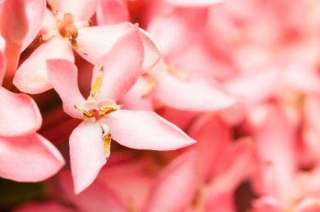Macro of Pink Ixora or West Indian Jasmine Flower