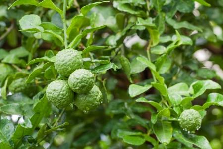 Bunch of Fresh Kaffir Lime  bergamot  with water drop